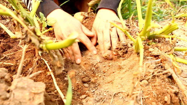 hand pulling a potato from the soil - textile patch stock videos & royalty-free footage