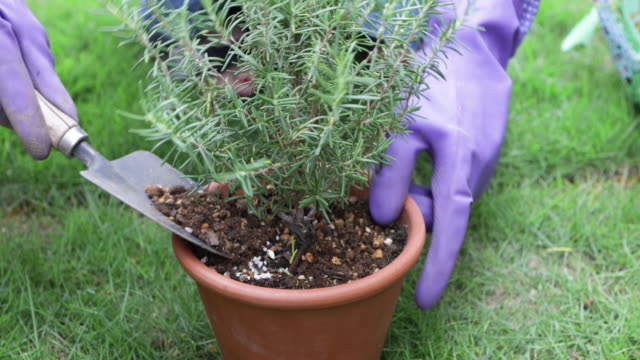 hand putting soil in potted rosemary. - simple living stock videos & royalty-free footage