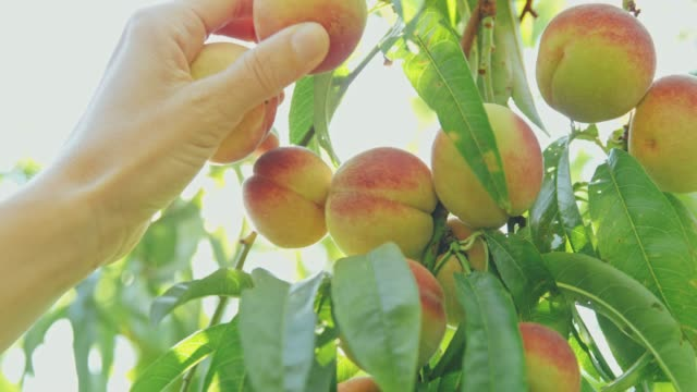 Hand reaching and picking fresh peach hanging from idyllic tree,slow motion