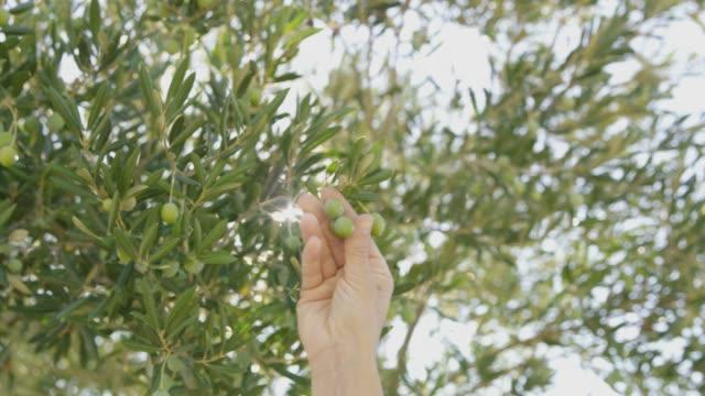 MS-Hand erreichen und Kommissionierung grüne Oliven auf Baum