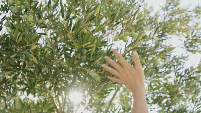 ms hand reaching and touching idyllic green olive tree - sensory perception stock videos & royalty-free footage