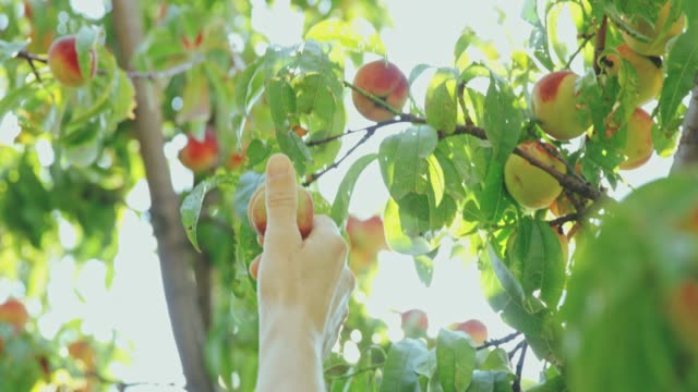 hand reaching for fresh,ripe peach in sunny tree,slow motion - peach stock videos & royalty-free footage
