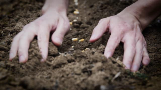 vidéos et rushes de maïs d'ensemencement de main, sol de couverture sur la graine - cereal plant