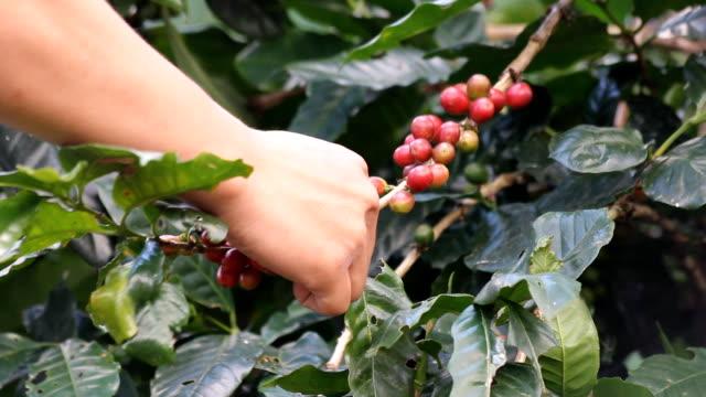hand select coffee seed