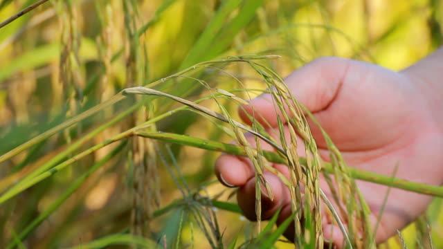 vídeos de stock e filmes b-roll de mão seleccione arroz - agrafo