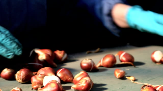 hand selecting bulbs - plant bulb stock videos & royalty-free footage