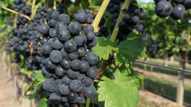 vidéos et rushes de hand showing grapes - speisen