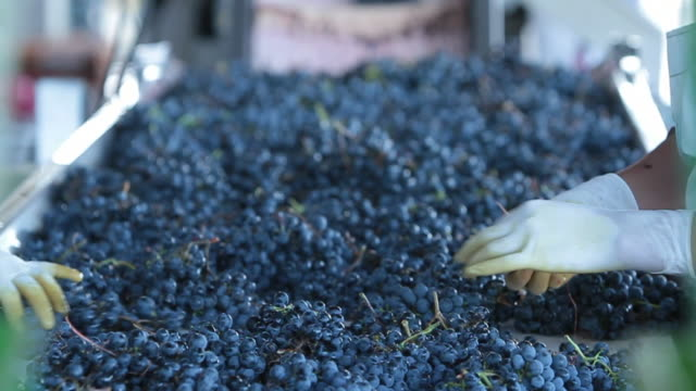 hand sorting red wine grapes at pulenta estates in mendoza argentina - grape stock videos & royalty-free footage