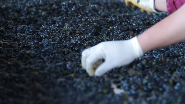 Hand sorting red wine grapes at Pulenta Estates in Mendoza Argentina