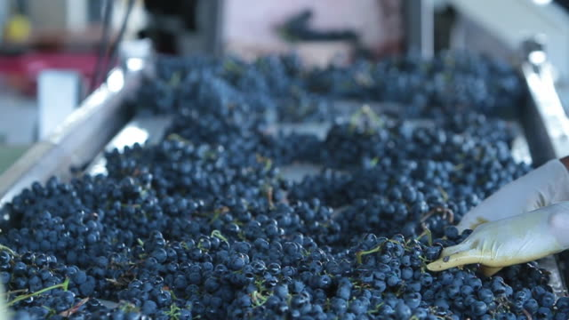 Hand sorting red wine grapes at Pulenta Estates in Mendoza Argentina