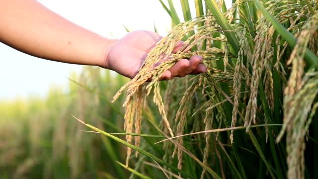 Hand tenderly touching Jasmine rice.