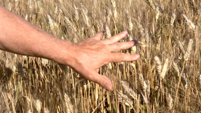 hand touches ripe wheat ears at sunset - appuntito video stock e b–roll