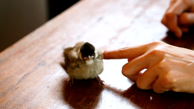 Hand touching Bulbul bird.