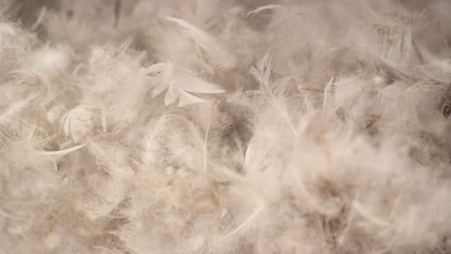 Hand touching duck feathers used to make comforters