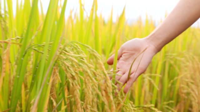 Hand zu berühren reif Reispflanze auf Reisfeld