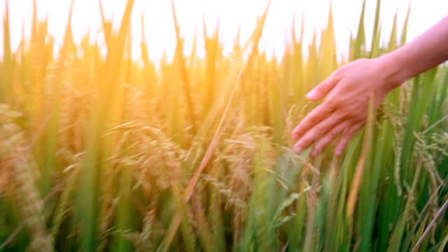 hand touching ripe rice plant on paddy field - rice stock videos & royalty-free footage