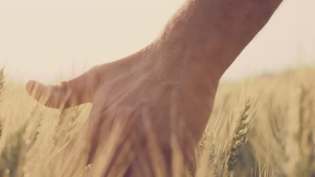 vídeos y material grabado en eventos de stock de de san luis obispo missouri mano con orejas de trigo - oficio agrícola