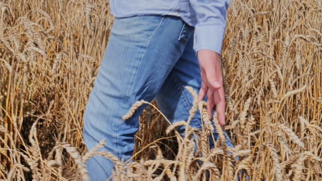 SLO MO. Hand touching wheat, man walking through field. 2. TS CU