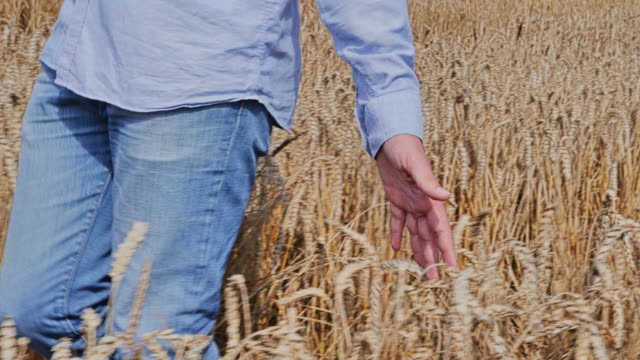 SLO MO. Hand touching wheat, man walking through field. 3. TS CU