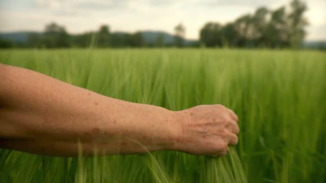 hd: mano toccare grano - accarezzare video stock e b–roll
