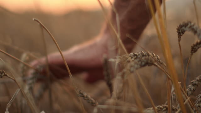 hand touching wheat - hay bail stock videos & royalty-free footage