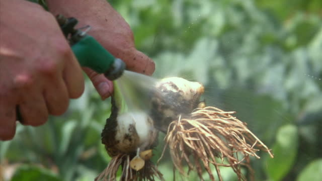 cu hand washing freshly harvested garlic, bovina center, new york, usa - garlic stock videos & royalty-free footage