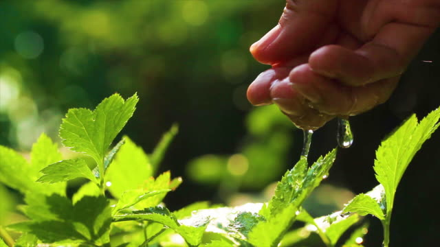 A hand watering on green leaves in the morning sunlight and fresh air