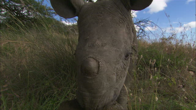 POV hand-held - A baby black rhinoceros explores it's surroundings and eats pieces of grass /  Kenya