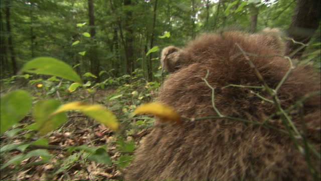 pov hand-held - a brown bear cub plays in the underbrush / bloomington, usa - bear stock videos and b-roll footage