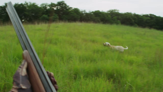 handheld pov of a hunter walking though a grassy field with shotgun and hunting dog. - hound stock videos & royalty-free footage