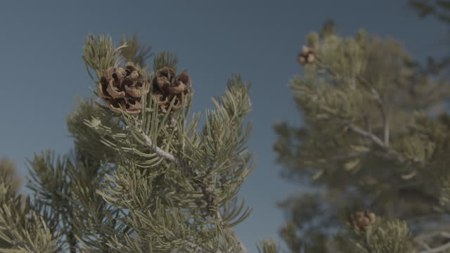 handheld close-up shot of pine cones on a beautiful green pine, fir, pinyon juniper or spruce tree in colorado - spruce stock videos & royalty-free footage
