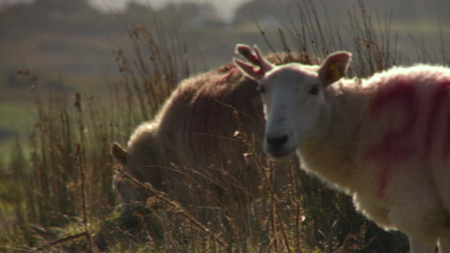 handheld in rural field of sheep eating grass - livestock stock videos & royalty-free footage