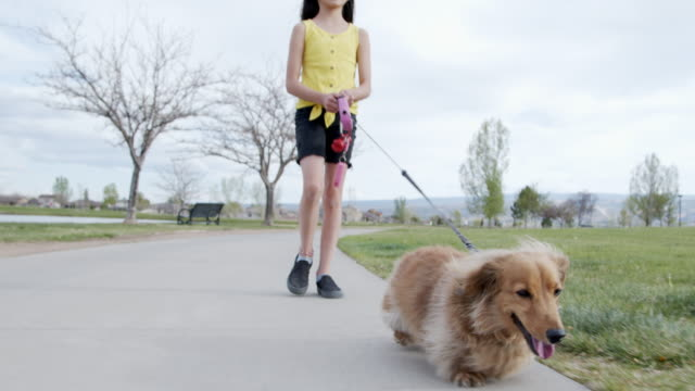 handheld low angle moving shot of a cute 10-11-year-old hispanic, latin, polynesian young child girl walking her fluffy long haired dachshund family dog outdoors in the spring - polynesian ethnicity stock videos & royalty-free footage