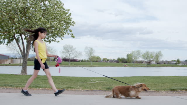 handheld moving shot of a cute 10-11-year-old hispanic, latin, polynesian young child girl walking her fluffy long haired dachshund family dog outdoors in the spring - polynesian ethnicity stock videos & royalty-free footage