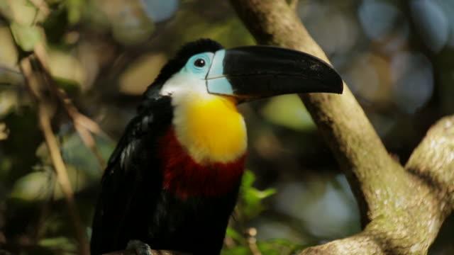 Handheld of a Aracari