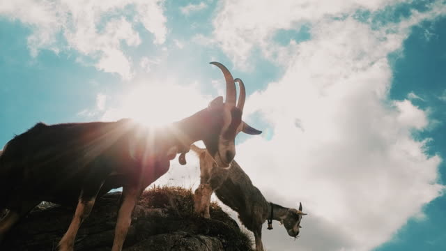 vidéos et rushes de handheld panning shot showing two mountain ibex at the edge of a rock face, bern canton, switzerland - bouquetin des alpes