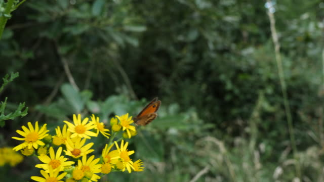 handheld shot butterfly feeding on yellow flower - le quattro stagioni video stock e b–roll