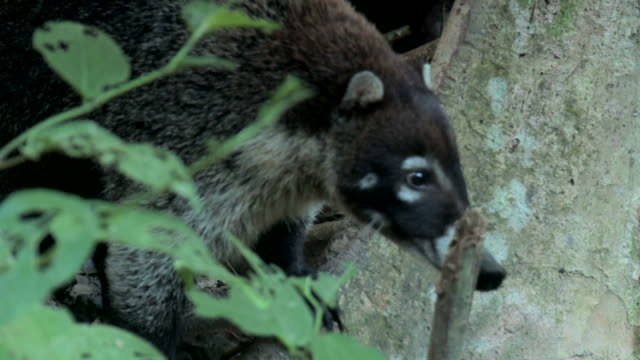 Handheld shot of a coati moving through the forest