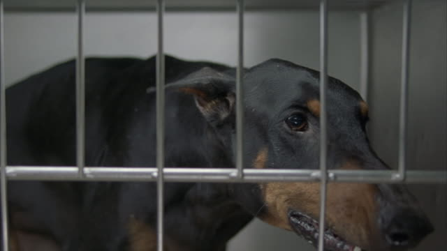 A hand-held shot of a Doberman upset and barking while trapped in cage.