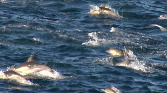 handheld shot of a school of dolphins leaping in and out of water - pod group of animals stock videos & royalty-free footage