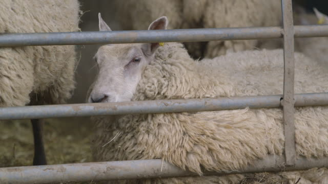 handheld shot of a sheep lying down in an animal pen looking frightened then turning its head away, uk. - animal pen stock videos & royalty-free footage