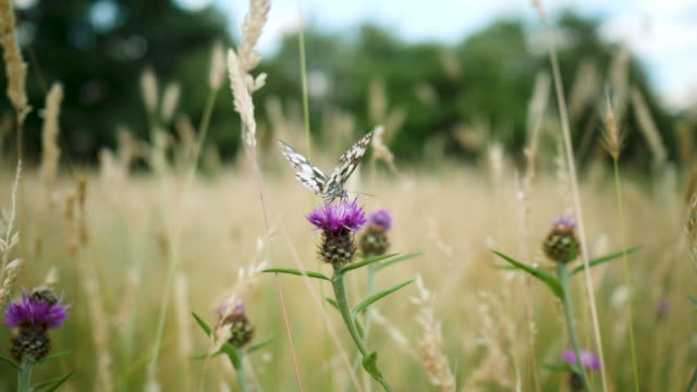 handheld shot of butterfly feeding on purple flower - wiese stock-videos und b-roll-filmmaterial