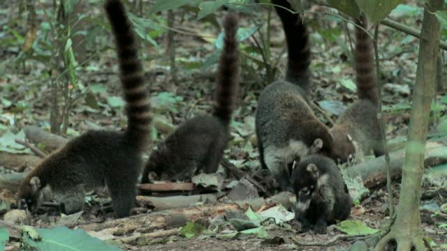 Handheld shot of coatis foraging on the forest floor
