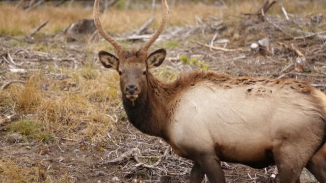 handheld shot of elk grazing on field at rocky mountain national park - herbivorous stock videos & royalty-free footage
