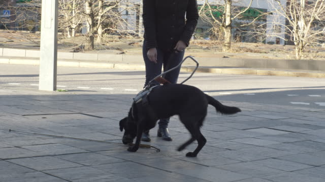 handheld shot of guide dog assisting blind pet owner in picking up cane on street - blind persons cane stock videos & royalty-free footage