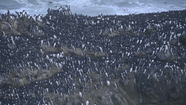 Handheld shot of penguins on rock formation by sea at Yaquina Head