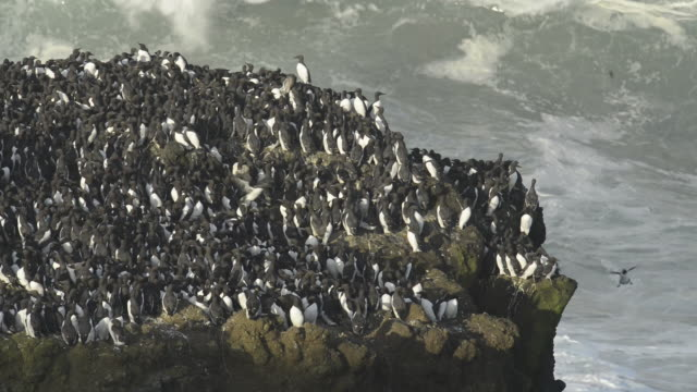 Handheld shot of penguins on rock formation by splashing sea waves at Yaquina Head