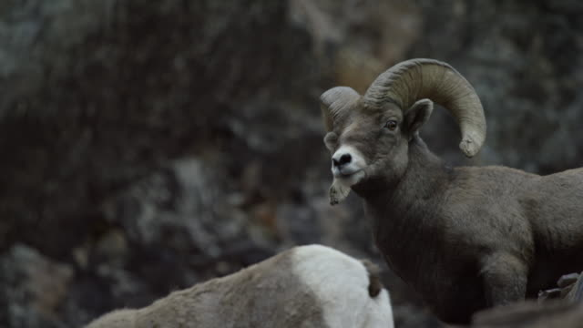 handheld shot of several bighorn sheep gather on the side of a snowy mountain forest in winter - bighorn sheep stock videos & royalty-free footage