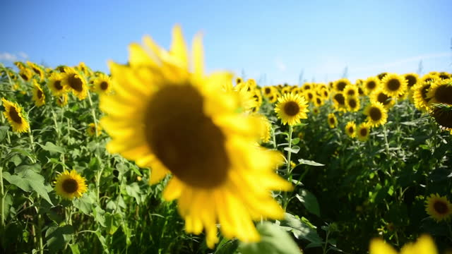 handheld shot of sunflowers growing on field against sky during sunny day - sunny video stock e b–roll