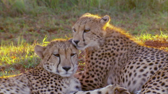 Handheld shot of two cheetahs, while one cleans the other